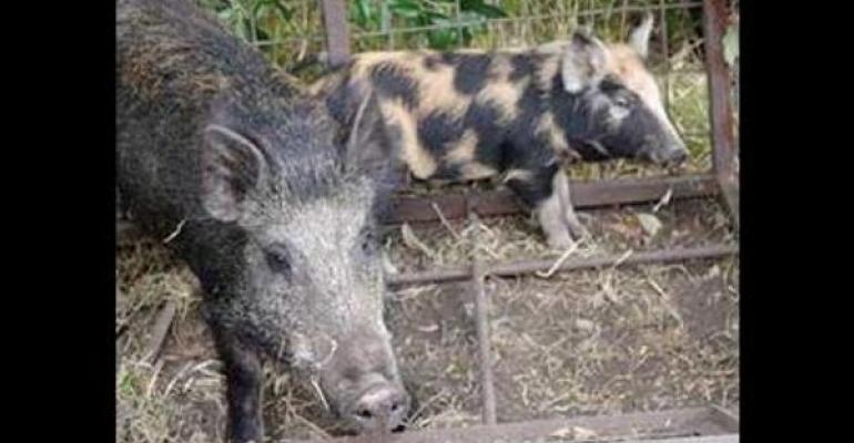 Feral swine present a disease risk to commercial swine herds