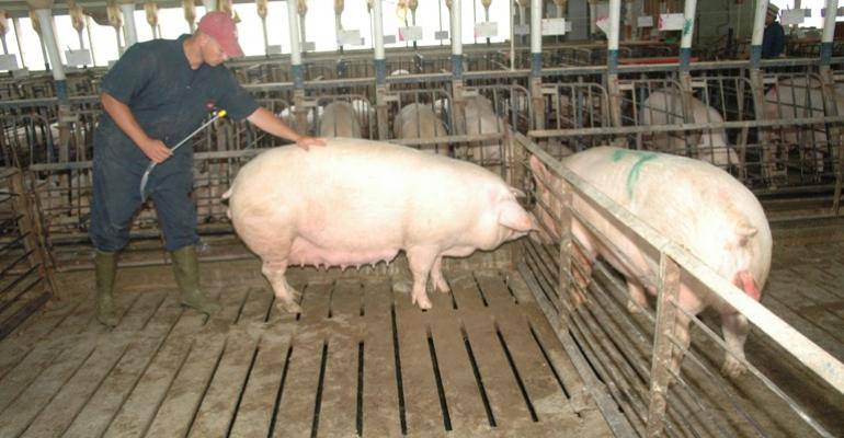 Researchers are working to understand how pig sperm survives
