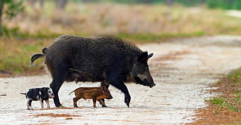 Help Stop Destructive Feral Swine