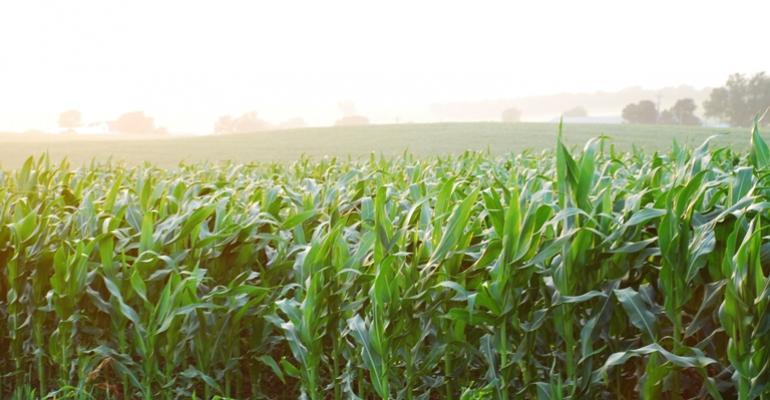 Corn in the morning mist