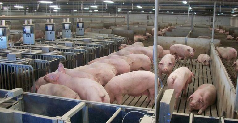 Pigs using an electronic sow feeding system