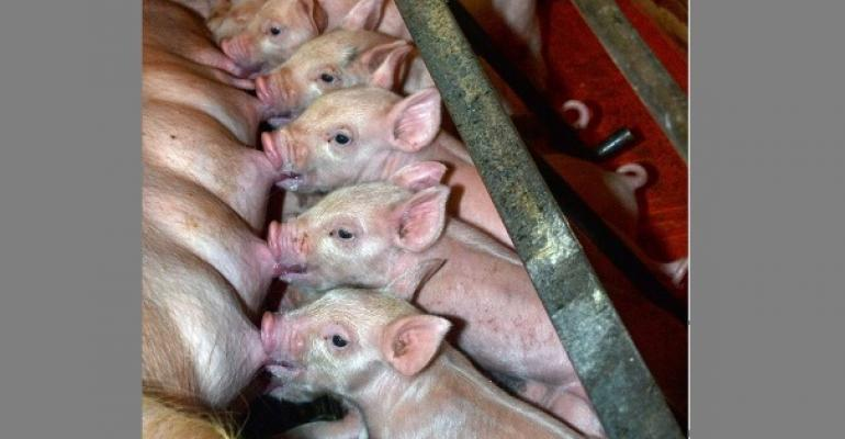 No Magic Bullets, But Pork Industry Research Builds Toward Future Solutions