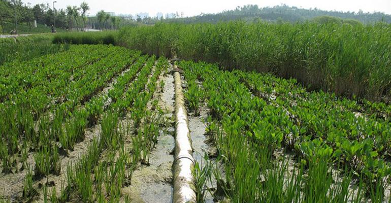 Chinese Christmas tree plants help remove nitrogen from swine wastewater