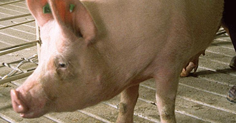 Blueprint: Selection for feed efficiency helps pigs adapt to stressors