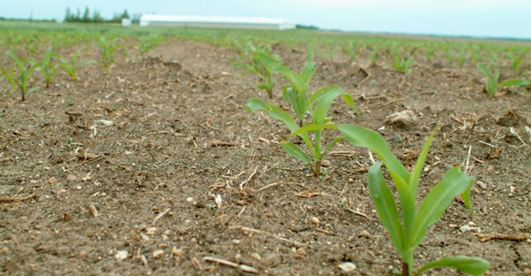 Record corn crop coming