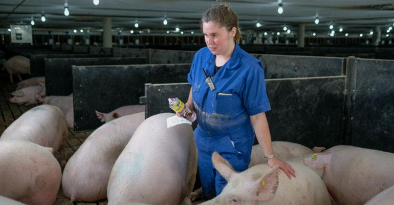 Chelsea Allgier walks through a 275sow group gestation pen at Jayce Mountain Pork in Fredericktown Mo The team at Jayce Mountain has learned sows in group gestation pens are less afraid of people than crate sows are Workers can administer vaccines do pregnancy checks and complete other tasks while the sows are in the group pens