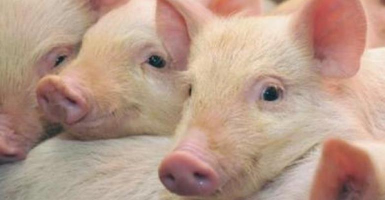 While raising pigs completely antibioticfree is possible it can often be a challenge for producers