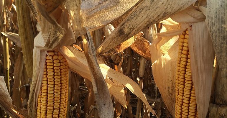 USDA predicting record corn and soybean crops