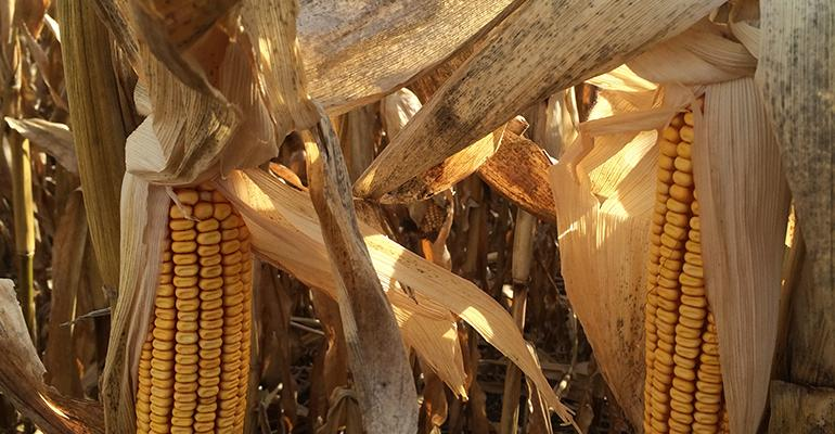 USDA predicting record corn and soybean crops