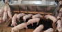 Pigs milling around a feeder