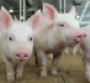 In a research trial pigs offered creep feed for three to five days preweaning were able to transition through weaning smoother than those not offered creep