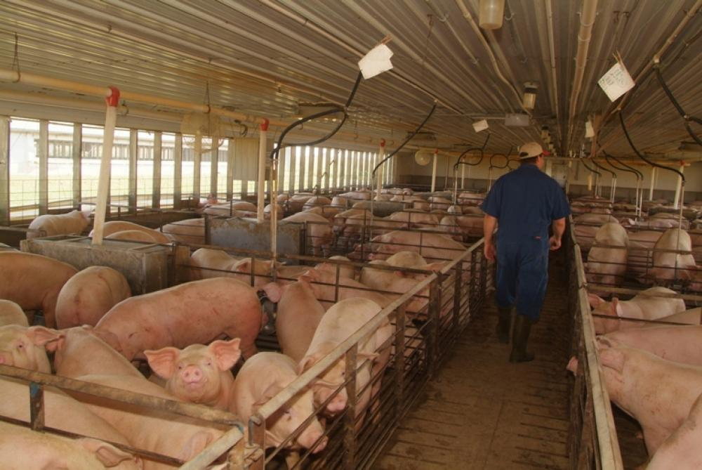 More Volatility Ahead for Pork Producers