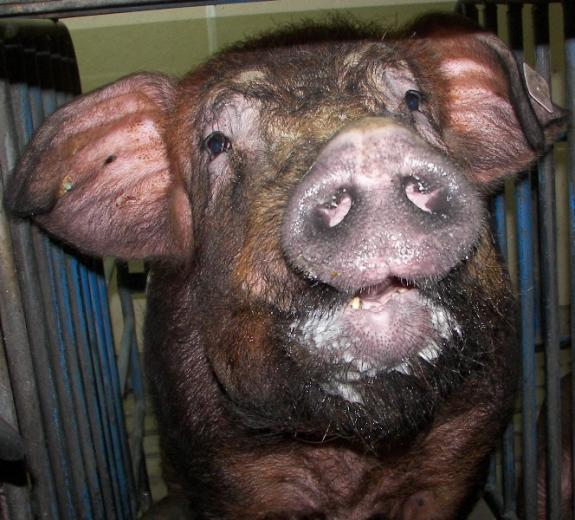 Photo 1: Pig with Personality!