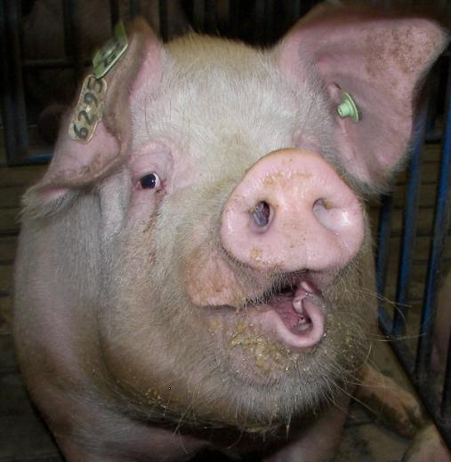 88. Hogs are Beautiful by Crystal Wyatt