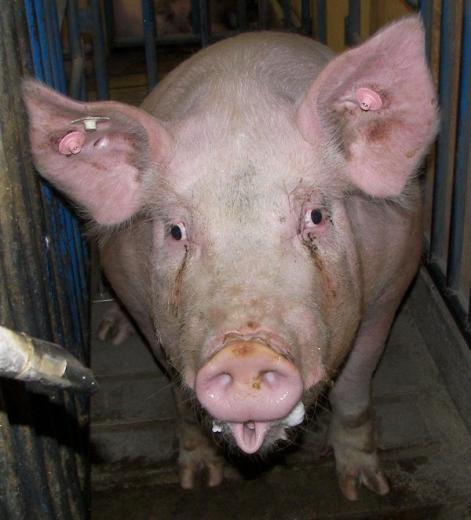 89. Prettiest Pig by Crystal Wyatt