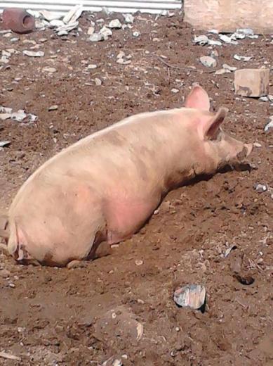 55. Prettiest Pig by Sasha Tracy