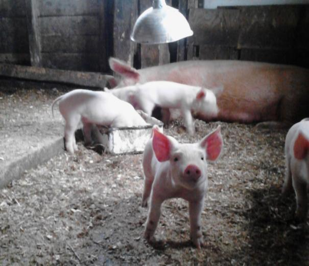 Photo 3: Prettiest Pigs