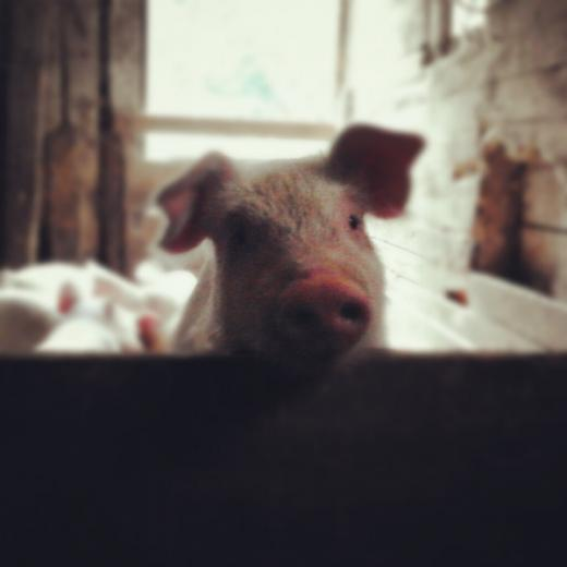 56. Prettiest Pig by Andrea Durrant