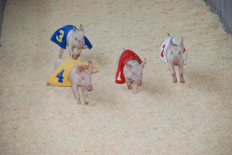 The Racing Pigs at World Pork Expo