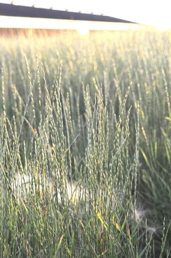 Native Grasses Are Part of the Conservation Plan