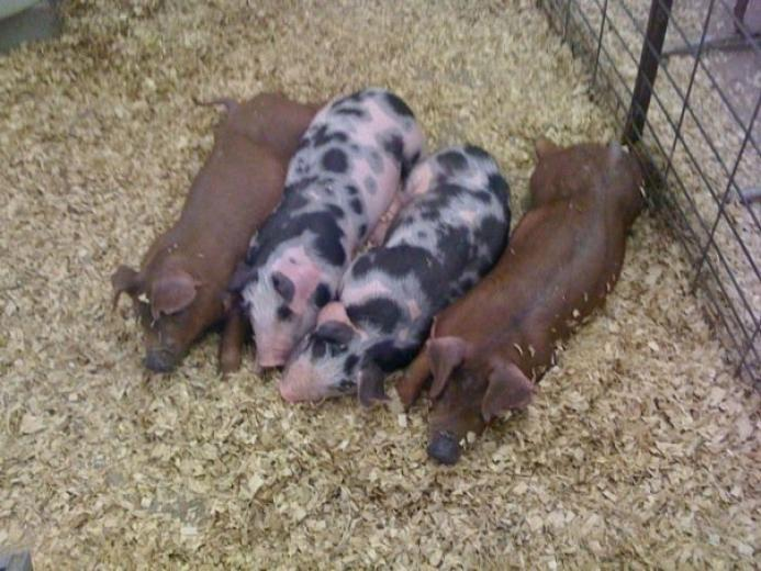 40. Prettiest Pigs by Destiny Wilson