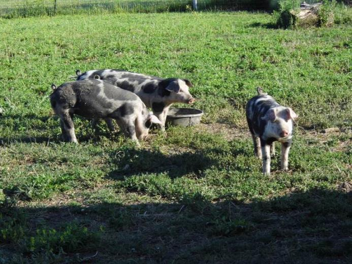 14. My Beautiful Hogs by Eva Snyder