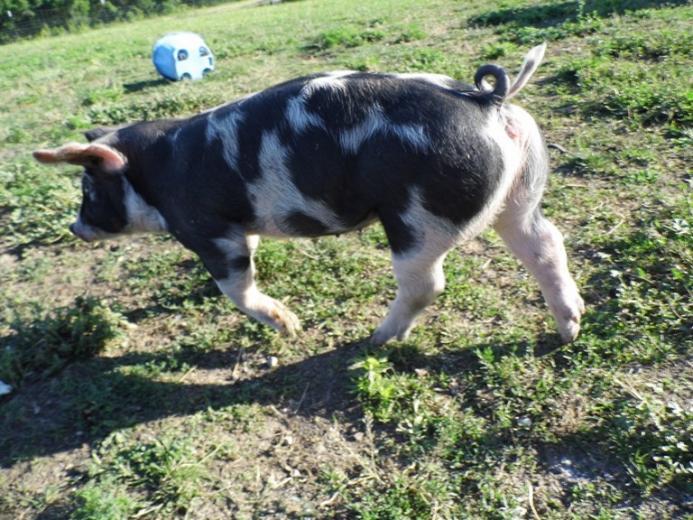 16. Prettiest Pig by Eva Snyder