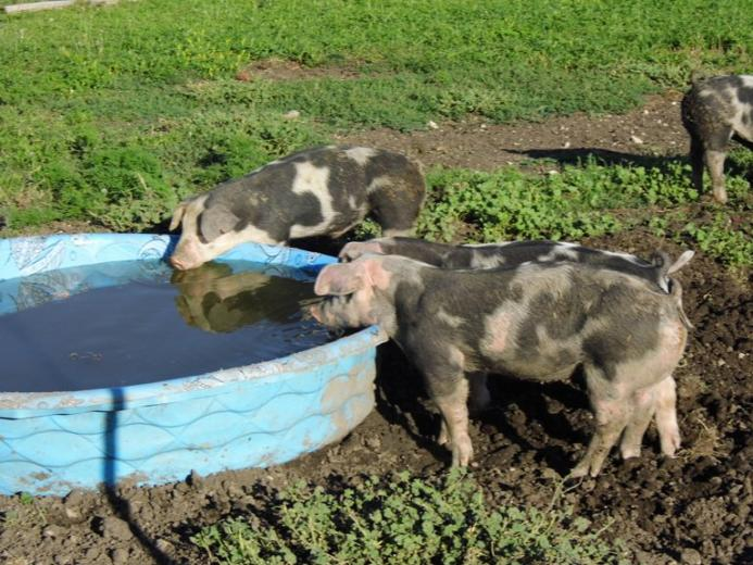 17. The Pig Pool by Eva Snyder