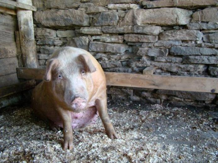 12. Prettiest Pig by Jessi Lemons