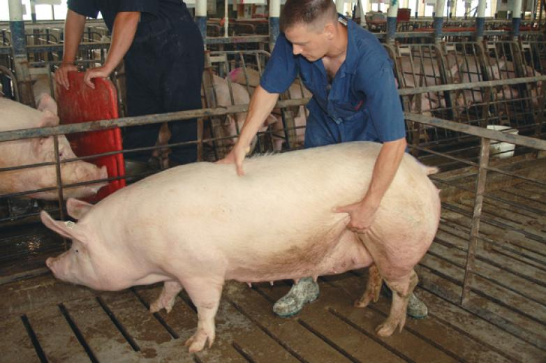 Simulating Boar Activity for Artificial Insemination - Sow Stands Rigid