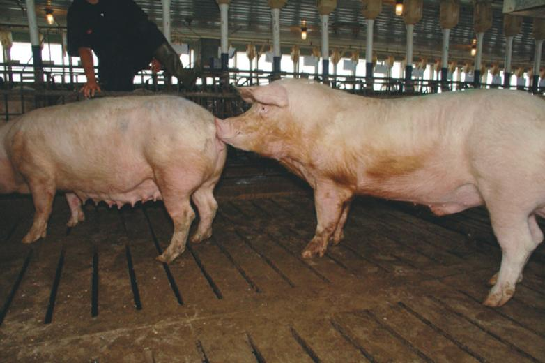 Natural Mating - The Boar Detects that the Female is in Estrus