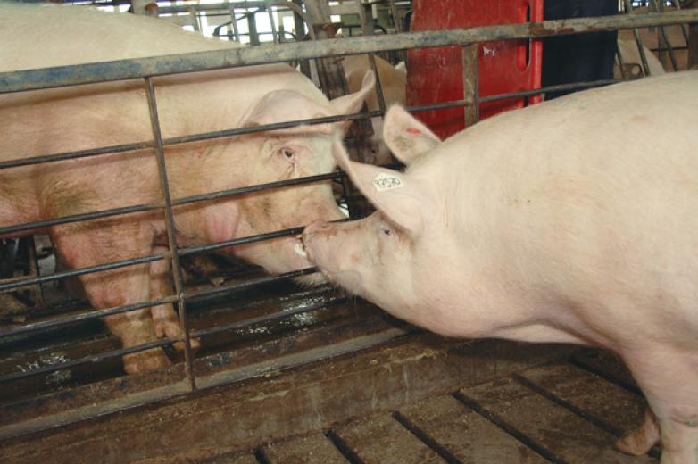 Simulating Boar Activity for Artificial Insemination - Manage Boar Exposure