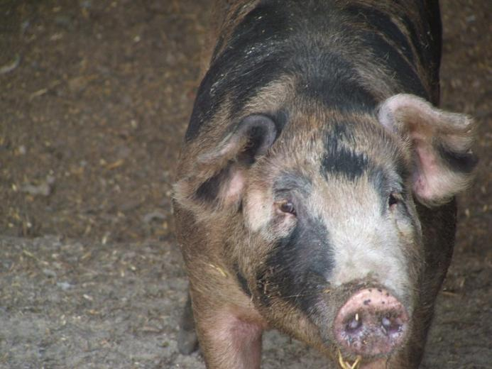 6. Prettiest Pig by Tracy Harper