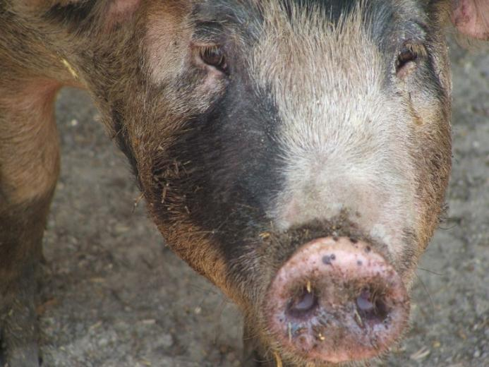 7. Beautiful Pig by Tracy Harper