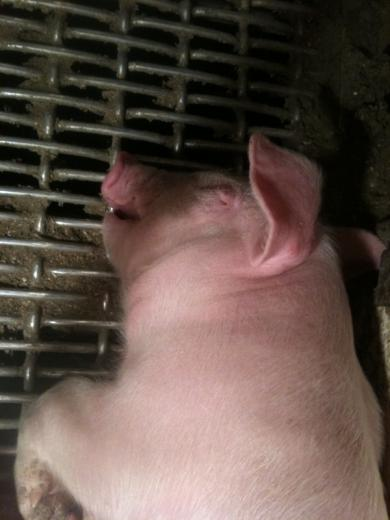 34. Tired Hogs are Beautiful by Timothy J. Mauer