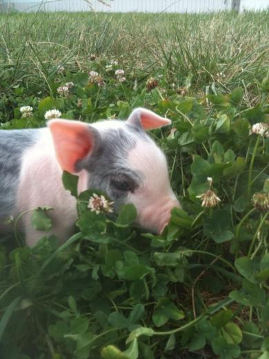 4. Pig in the Clover by Timothy Mauer