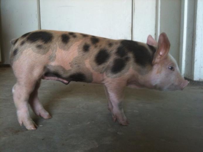44. Prettiest Pig by Timothy J. Mauer