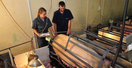 Two caregivers monitoring a sow and her litter during farrowing
