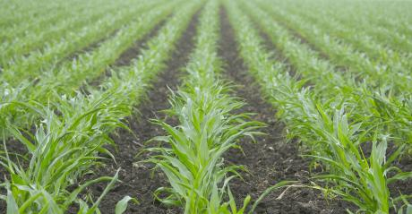Rows of young corn plants in a field