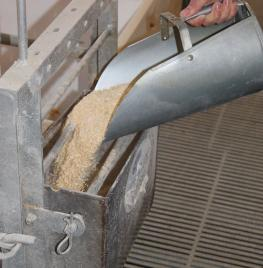 Scooping feed into a feeding cup for a sow.
