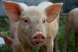 pig in China-shutterstock_36506221.jpg