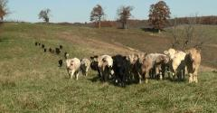 This Week in Agribusiness - Cattle in a field, not destroying the climate.