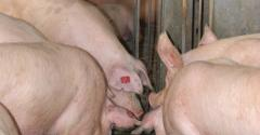 sows at an electronic feeder