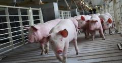 Unloading pigs