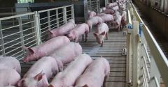 Pigs filling a hog barn