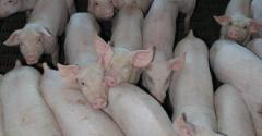 It is estimated that porcine reproductive and respiratory syndrome virus costs US hog producers 640 million with an additional 360 million in annual veterinary costs making it the most significant disease facing todayrsquos industry Vaccines biosecurity measures and proposed methods for eradication have had limited successThe aim of the PRRS Host Genetics Consortium is to identify genomic markers and pathways associated with host response to PRRSV infection These markers could potentially b