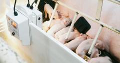 A sow wearing a SwineTech patch