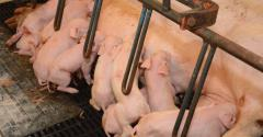 The Maschhoffs' goal is to be the industry's high-value, cost-efficient hog supplier.