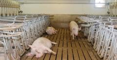 NHF-betaine-heat-stress-sows