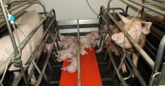 Side-by-side farrowing stalls with sows and litters